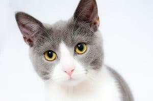 image of a grey and white kitty