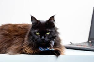 maine coon with laptop