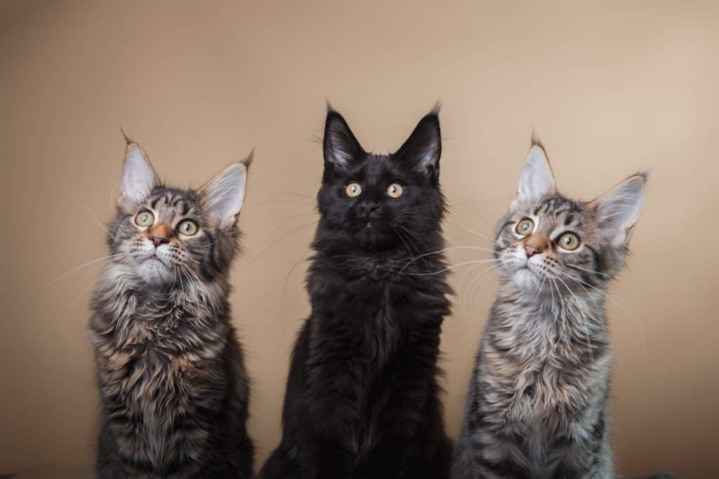 The Black Maine Coon: Facts and Personality Traits 2