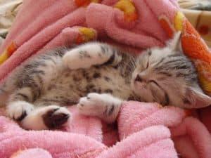sleep kitten