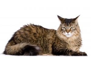 brown main coon cat