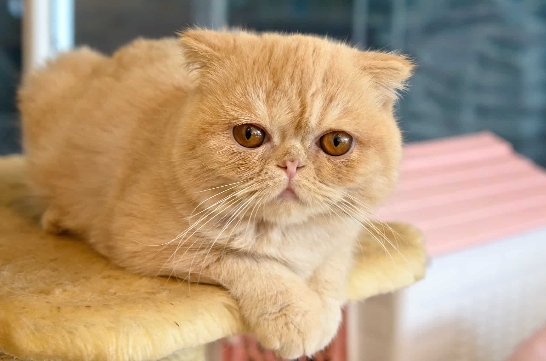 Orange Exotic Shorthair
