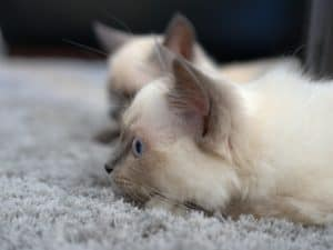 blue siamese kittens