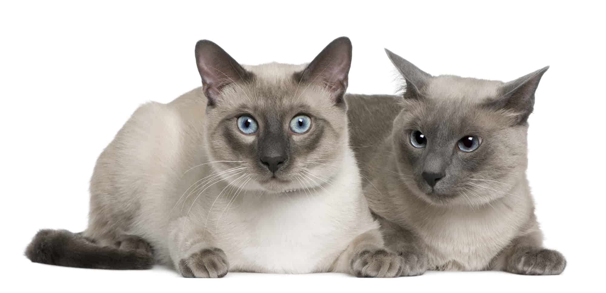 Blue Point Siamese Cat