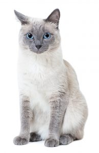 Blue Point Siamese Cat 5 Types Revealed