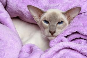 Oriental Lilac-point siamese cat