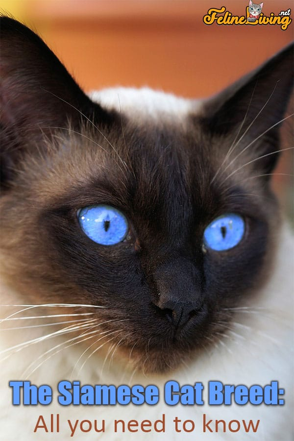 The Fluffy Siamese Cat Top 6 Breed Facts Revealed