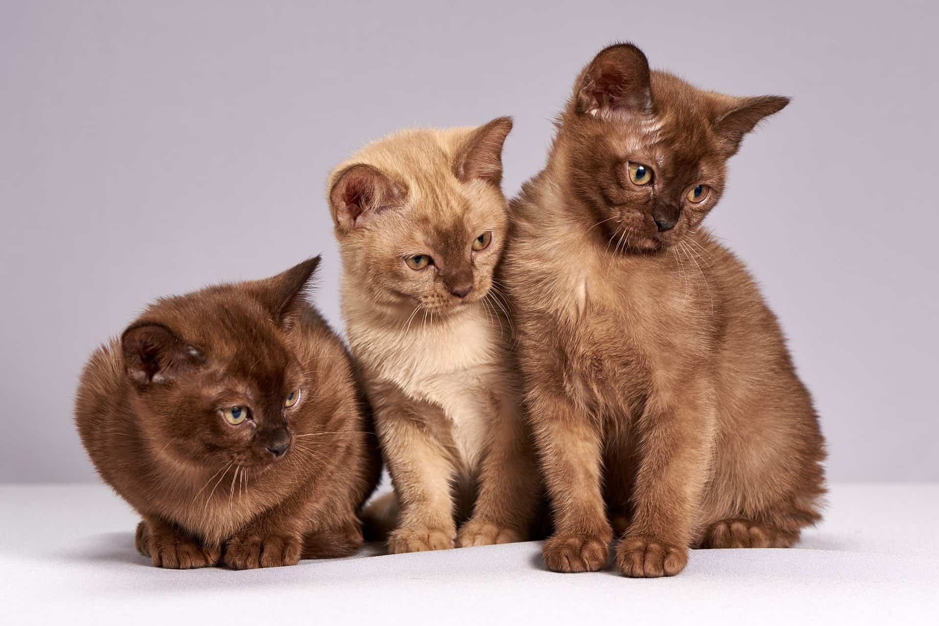 brown kittens