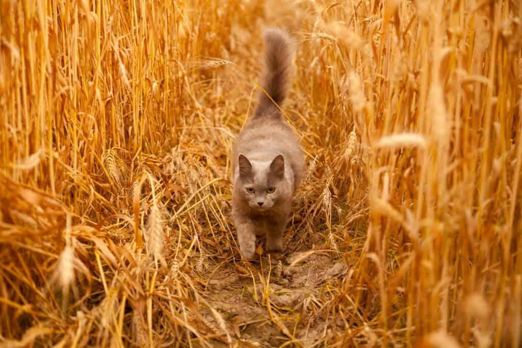 cat in wheatfield
