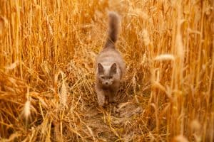 cat in wheatfield