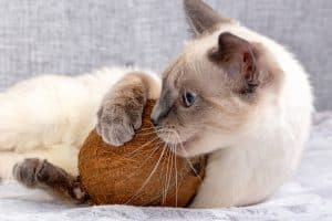 cat playing coconut