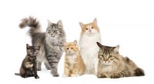 norwegian cats