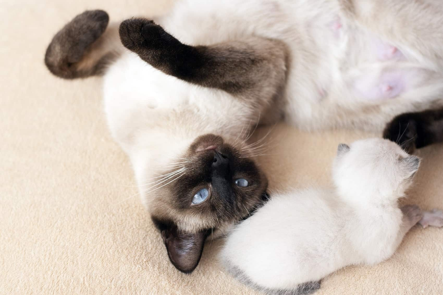 playing siamese