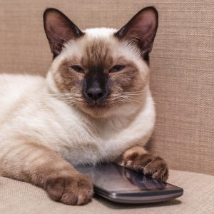 choco siamese with phone