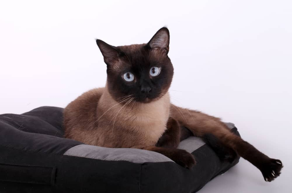 dark siamese cat