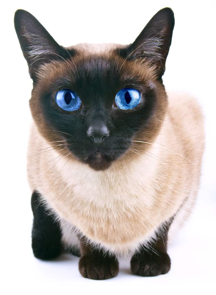 siamese cat up close