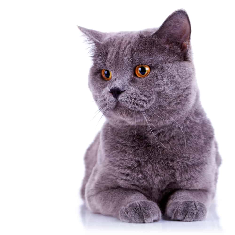 200 Plus German Cat Names: The Conventional and The Quirky 6