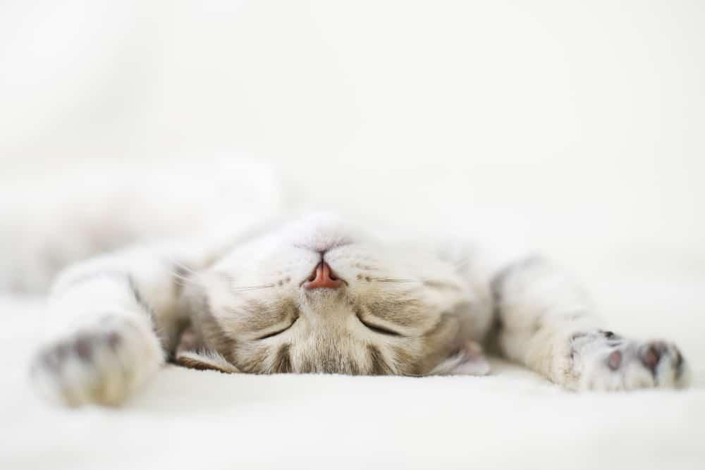 scottish cat sleeping