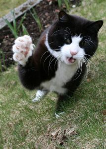 hemingway house cat 4
