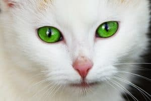 cat green eyes