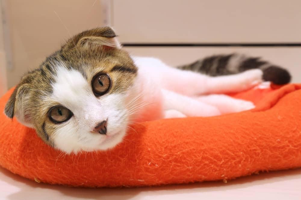 Scottish fold orange bed