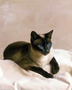 Seal Point Siamese Domestic Cat