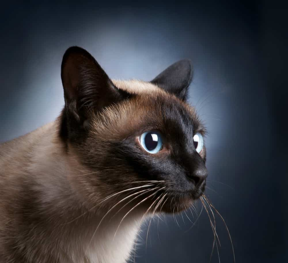sideview siamese cat