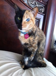 venus chimera cat
