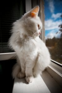 white cat on window