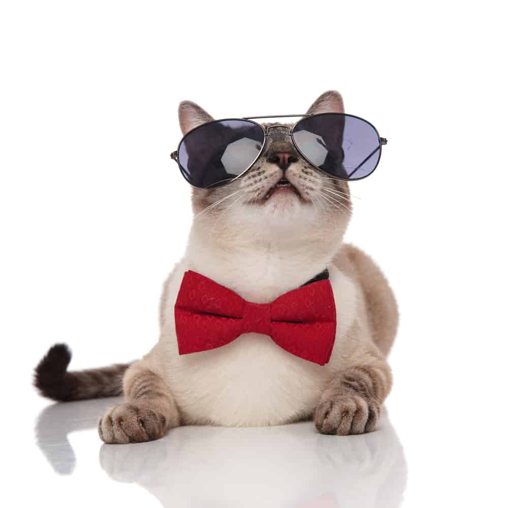 grey cat with sunglasses