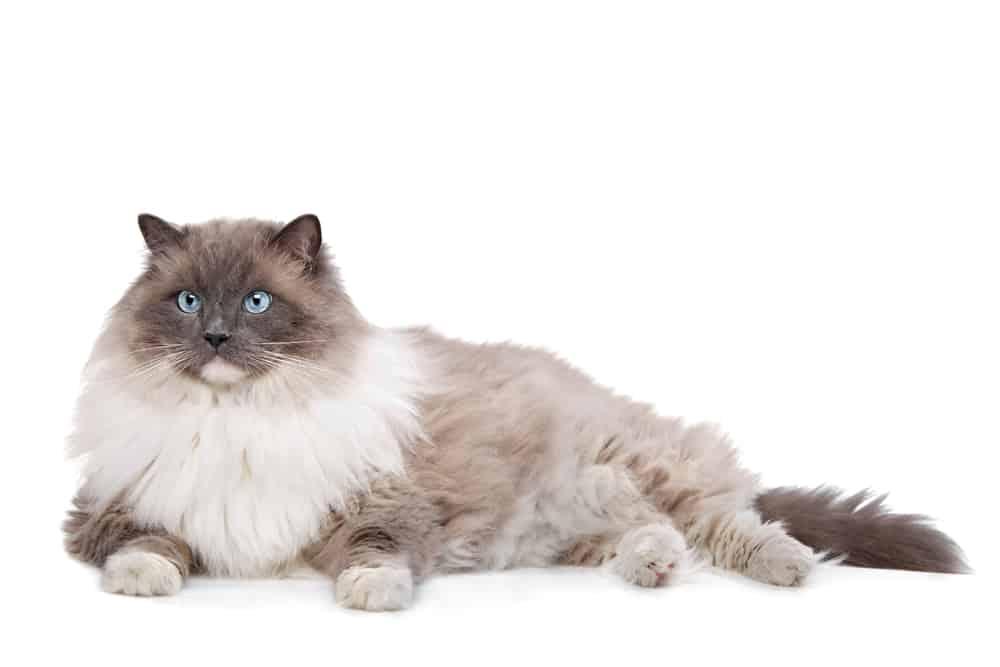 231 Italian Cat Names For Your Roman Kitty 1