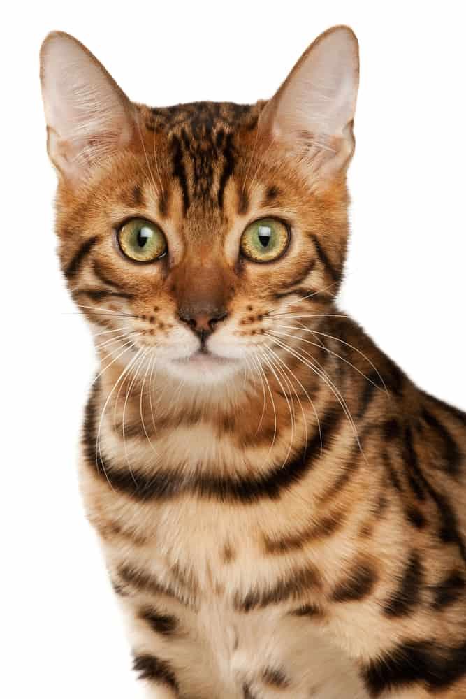 Bengal tabby cat