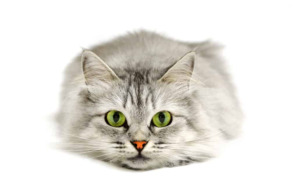 Top 500 Most Popular Female Cat Names 3