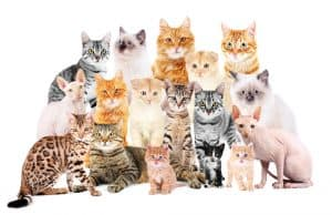 big cat breeds