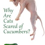 Why Are Cats Scared of Cucumbers? Find Out Why!