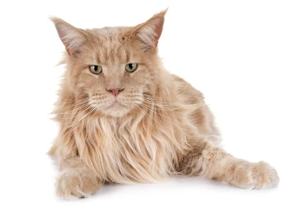 maine coon cat brown