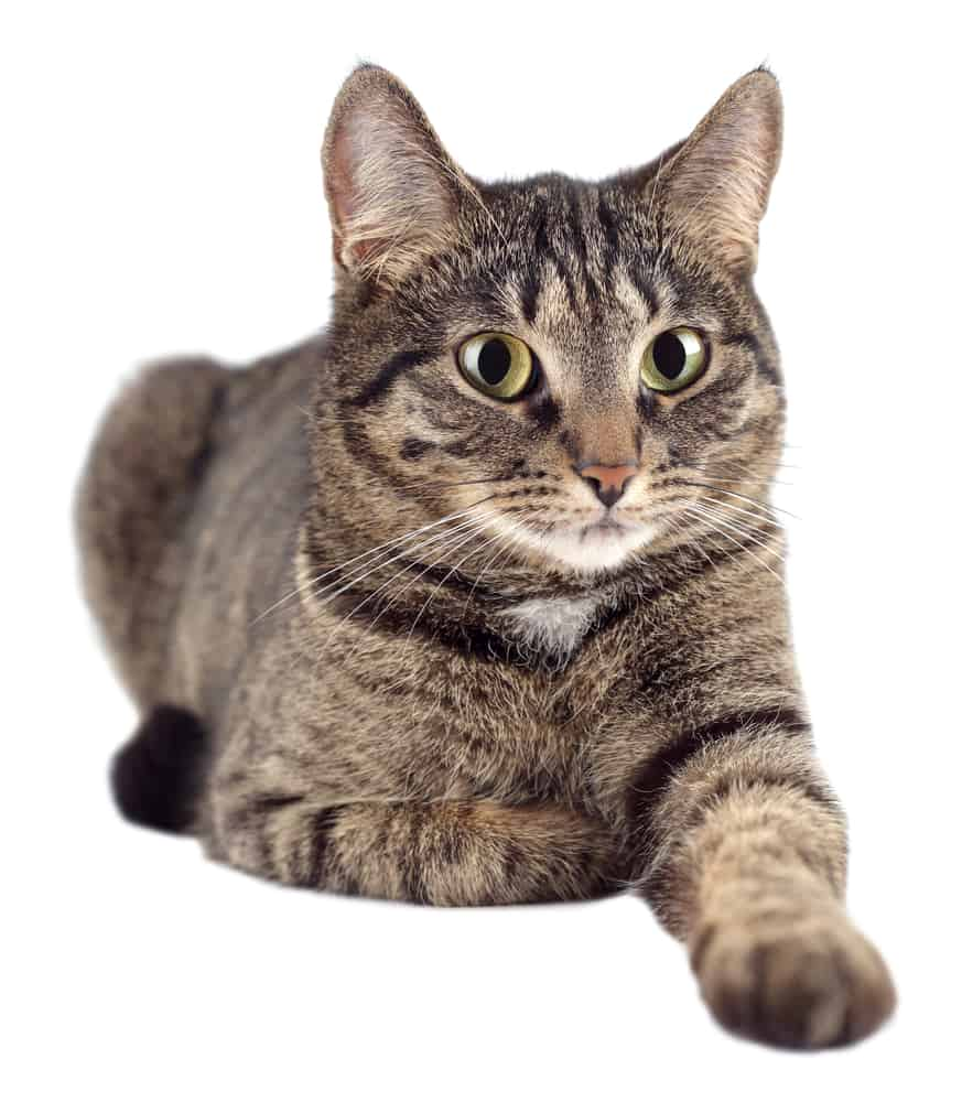 Powerful 369 Male Cat Names For Your Fearsome Feline 2