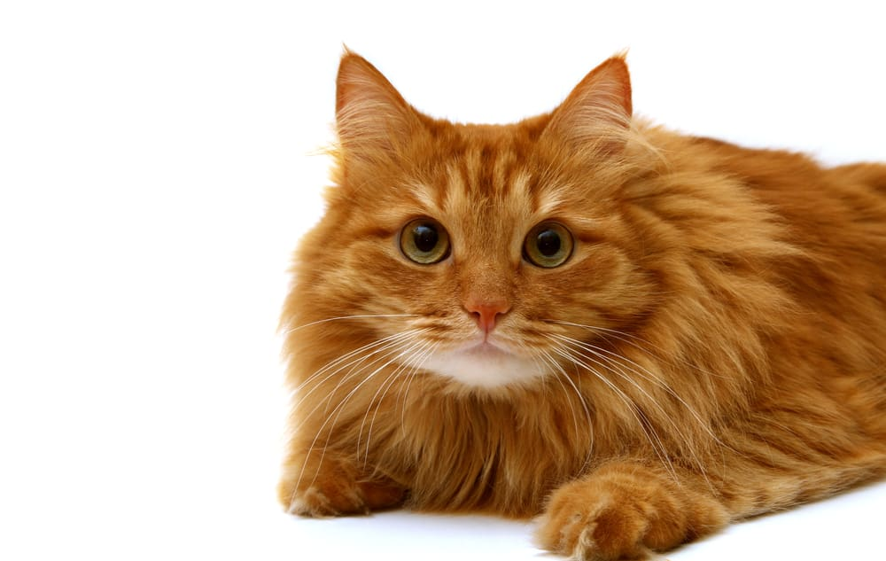 248 Orange Cat Names For All Ginger Felines 5