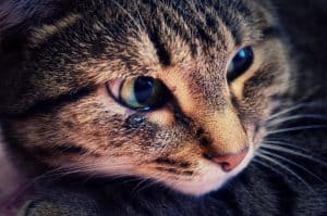 Can Cats Cry? Do They Suffer Depression Too? Find Out Here! 1