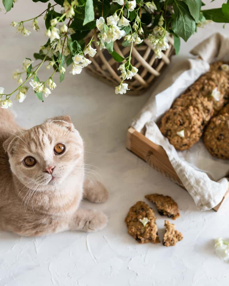 Can Cats Eat Oatmeal? 5 Reasons Why It Is A Healthy and Guilt-Free Snack 3