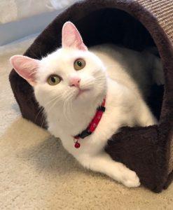 Snowbelle's Story: A Phe-nom-enal Feline Turnaround 6