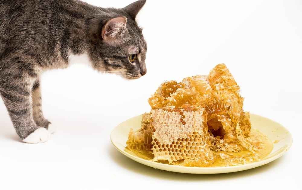 can cats eat honey