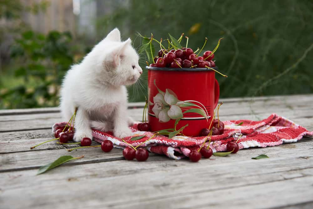 Can Cats Eat Cherries? 5 Burning Questions Answered 2