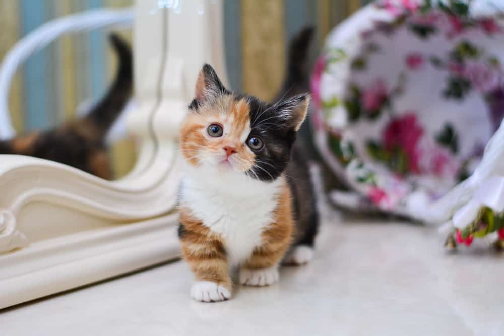 8 Flat Faced Cat Breeds That Will Melt Your Heart 1