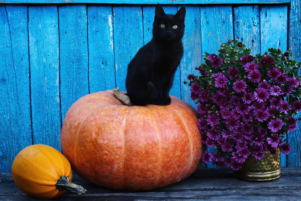 Can Cats Eat Pumpkin