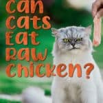 Can Cats Eat Raw Chicken? What Are the Risks Involved in Feeding Cats Raw Chicken?