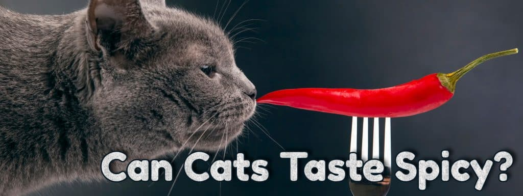 Can Cats Taste Spicy