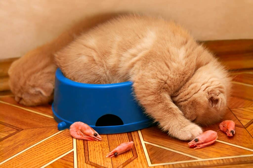 Can Cats Eat Shrimp? The Pros And Cons Of Eating Shrimp Disclosed 1