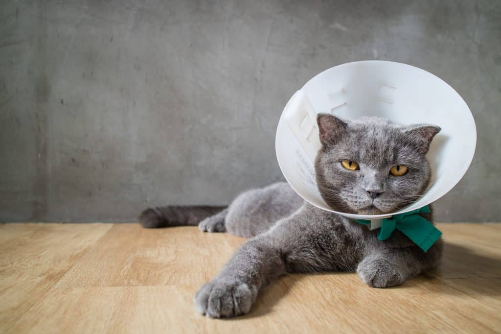 Can Cats Get The Flu? The Lowdown On Cat Flu 1