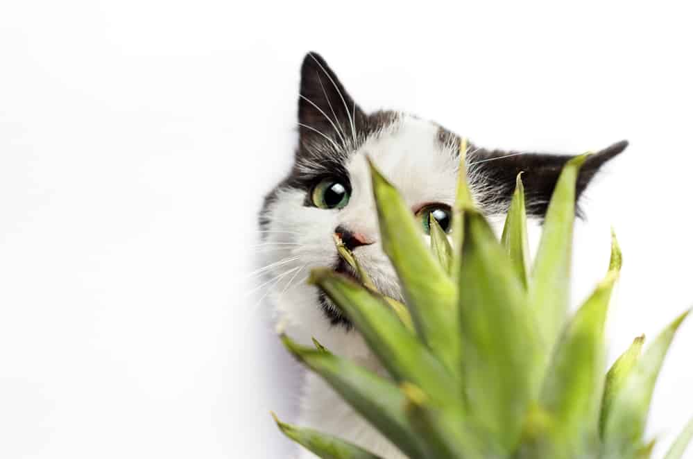 Can Cats Eat Pineapple? Is This Fruit Good Or Bad For Your Cat? 4